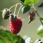 Growing Loganberries, mulberries and veitchberries