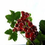 Growing Red Currants