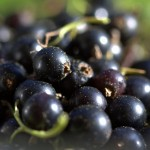 How To Grow Black Currants