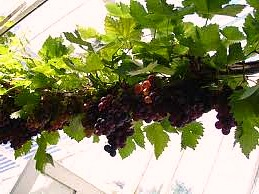 How To Grow Grapes In A Greenhouse