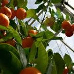 How To Grow Peaches In A Greenhouse