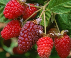 How To Make Loganberry Wine