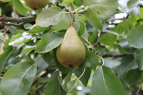 Pear Growing
