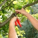 Pruning Fruit Trees, ringing fruit trees