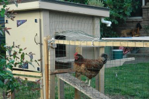how to keep chickens