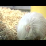 Common Ailments Of Gerbils