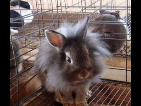 Rabbit Breeds and Exhibiting