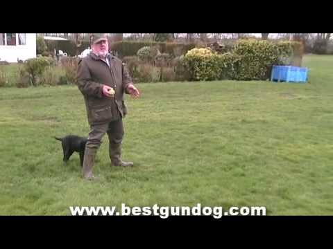 Dogs For Obedience Training–Breeds and Temperament
