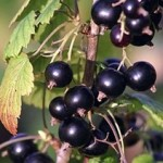 Black-Currants_thumb.jpg
