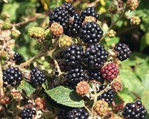 Growing Blackberries