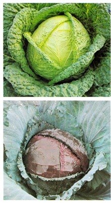 Growing Greens cabbage