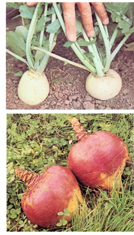 Growing Turnips and Swedes