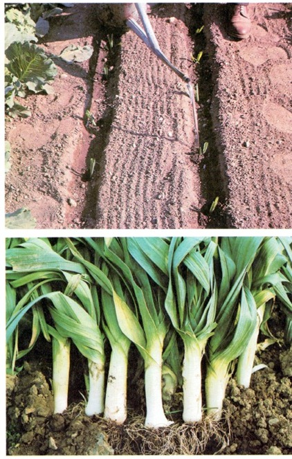 How To Grow Leeks, Scallions And Shallots