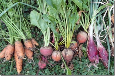 Root Vegetables–Quick Guide On Growing