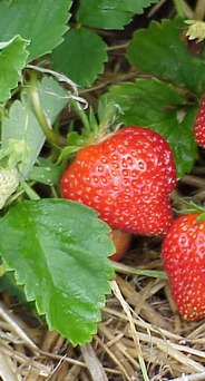The Care of Strawberries