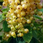 White-Currants_thumb.jpg
