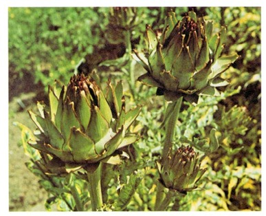 growing globe artichoke