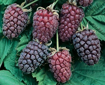 Loganberry Cultivation