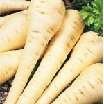 parsnip-growing_thumb.jpg
