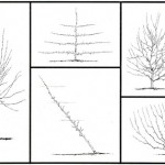 patterns-of-pruning-apples-to-produce-bush-trees_thumb.jpg