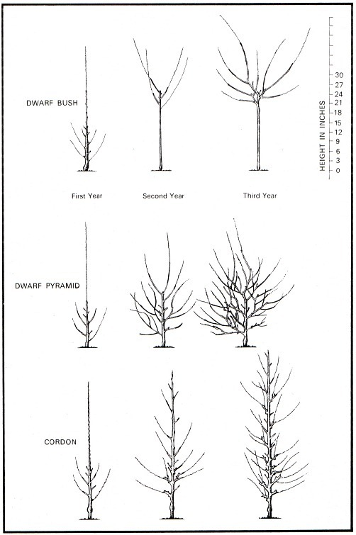 lovely when do you prune apple trees Part - 14: lovely when do you prune apple trees ideas