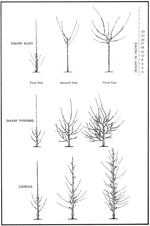 patterns of pruning to build a dwarf bush apple tree dwarf pyramid and cordon from a one year old tree or maiden
