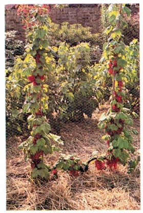 red currants double cordon system