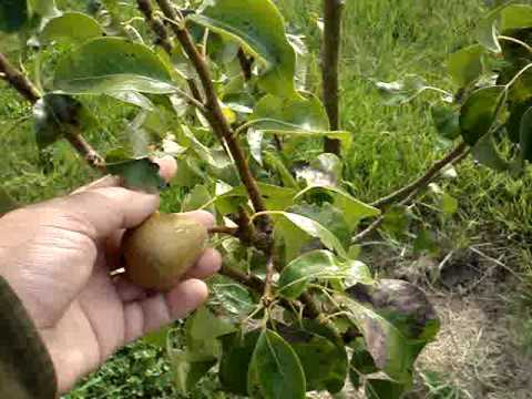 The Problem Of The Small Orchard