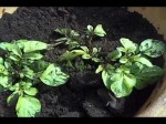 Best Methods Of Potato Cultivation