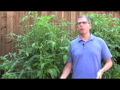 Tomatoes Indoors and Outdoors