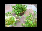 Growing Watercress