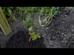 Best Way To Grow Blackberries And Loganberries