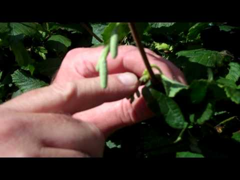 Growing Cobnuts And Filberts