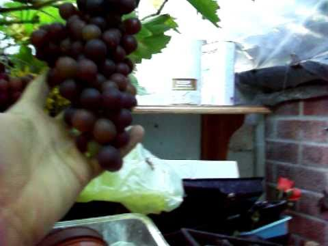 Grape Vines In Cooler Climates