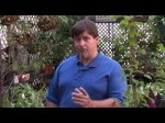 Growing Plums And Damsons In Cooler Climates
