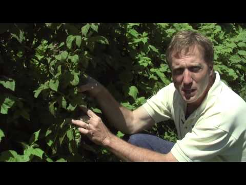 How To Get  Good Crop of Raspberries Every Year
