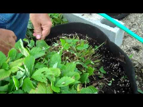 Best Soil and Conditions For Strawberries