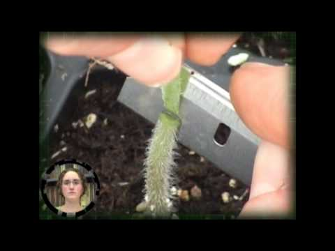 Tomato and Cucumber Grafting