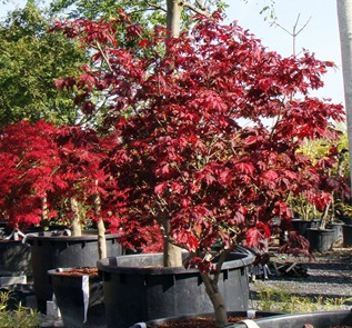Acer – The Maples