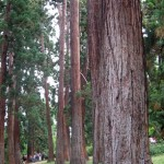 Sequoia-sempervirens_thumb.jpg