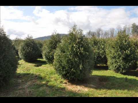 Common or Norway Spruce Picea abies KARST
