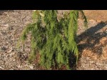Lawson Cypress Chamaecyparis lawsoniana