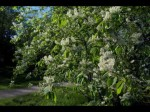 Bird Cherry Prunus padus L.