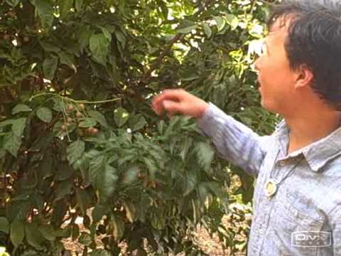 NATURAL DISTRIBUTION AND INTRODUCTION OF EXOTIC TREES