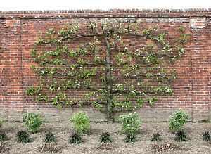 English: Espalier tree In the Spider Garden. E...