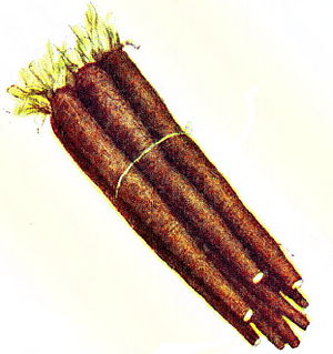 GROWING TIPS FOR SALSIFY and SCORZONERA