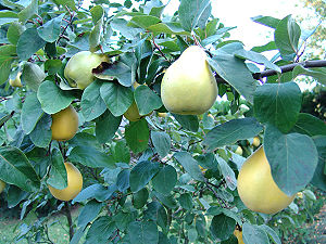 Best way to Grow Pears In Cooler Climates