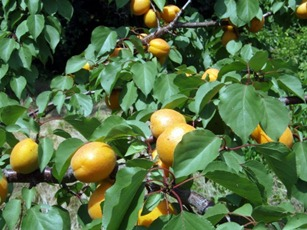 Caring For Soft Fruit Bearing Trees