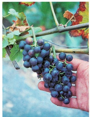 Growing Grapes–Setting Up A Small Vineyard