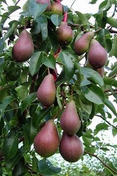 The Care Of Pear Trees